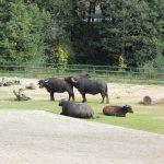 buffalo (bawół)